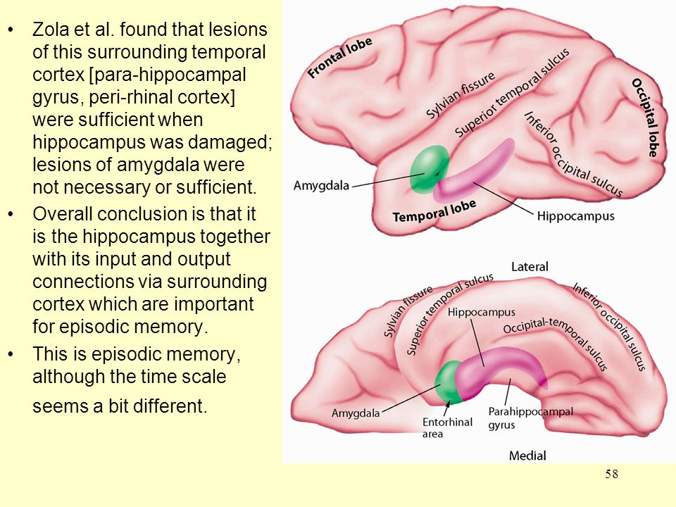 Zola et al. found that lesions of this surrounding temporal cortex [para-hippocampal gyrus, peri-rhinal cortex] were sufficient when hippocampus was damaged; lesions of amygdala were not necessary or sufficient.